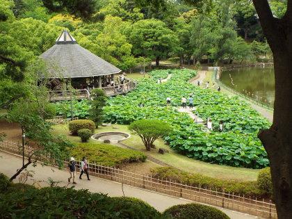千葉公園の大賀ハス池